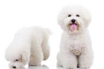 two curious bichon frise puppy dogs,
