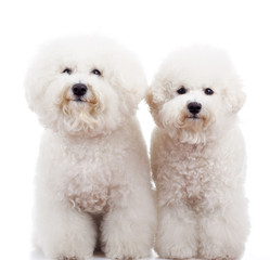 two bichon frise puppy dogs standing