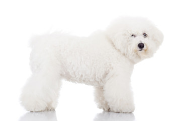beautiful bichon frise puppy dog standing