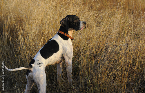 Dog alert in hunting field