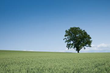 麦畑と大木