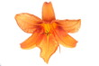 Orange lilies flower isolated on white background
