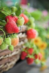 Home grown fresh strawberries close-up
