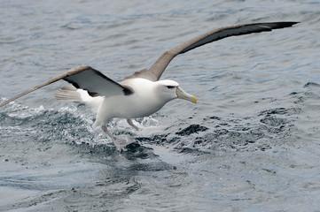 Shy Albatross landing on water.