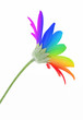 Rainbow flower isolated on white