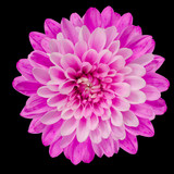 Pink Chrysanthemum Flower Isolated on Black