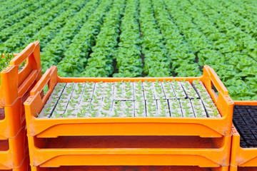 Crate with young lettuce plants ready to be put into the ground