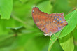 Brown Butterfly on leaf (Large Assyrian, Terinos atlita)