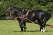 black cart horses
