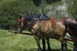 horsedrawn horses in Poland