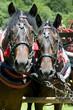 horse-drawn horses