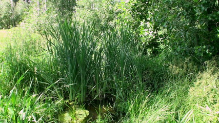 Sedge grass in a small river