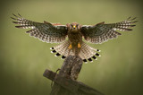 Fototapety Female Common Kestrel in flight