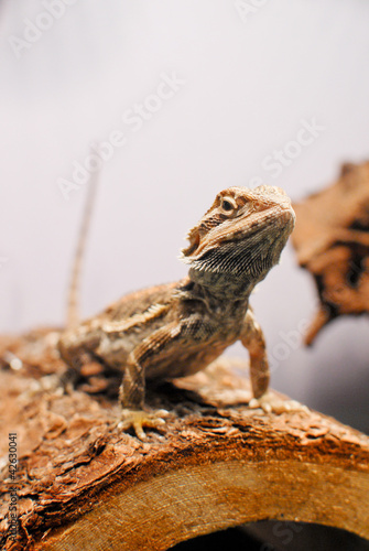 Bearded Dragon Pet sitting on a Log