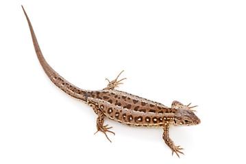 Lacerta agilis. Sand Lizard on white background