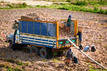 Agricultural worker harvesting cassava