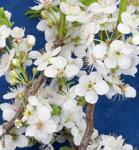 flowers from fruit tree on a blue background