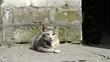 Liegende graue Katze