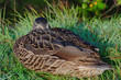 Duck Sleeping