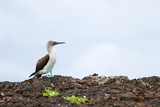 Blue footed booby, Sula nebouxii, in Galapagos islands