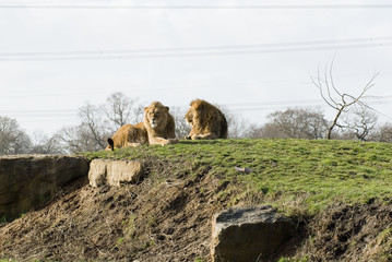 Lions, Yorkshire Wildflife Park, Doncaster, UK