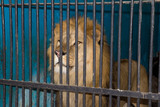 lion behind the bars at the zoo