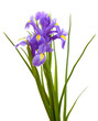 Beautiful bright irises isolated on white
