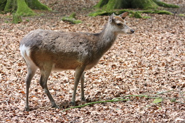 Sika Deer - New Forest