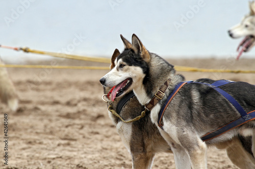 siberian huskys before the race