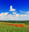 poppies field with cloudy blue sky