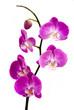 Fototapeten,orchidee,blume,frische,rosa