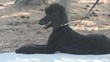 Black Poodle Relaxed On Sidewalk With Paws Out