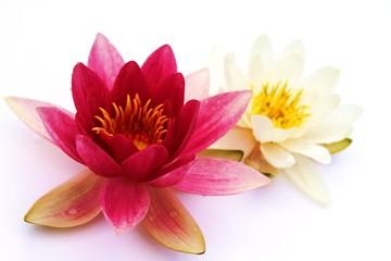 zwei Lotusblüten auf weissem Untergrund