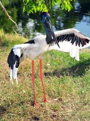 jabiru or black headed stork, northern territory, australia