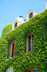 old house wall with vines