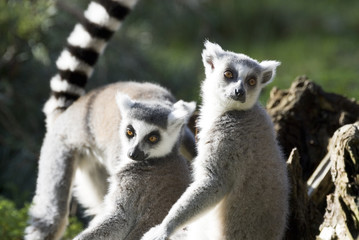 Ring Tailed Lemurs, Yorkshire Wildflife Park, UK