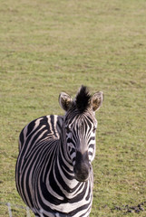 Zebra, Yorkshire Wildflife Park, Doncaster, UK