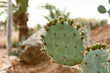 Prickly pear cactus in desert