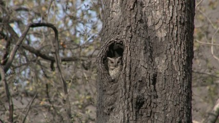 Spotted Owl camouflaged sitting in Nest entrance