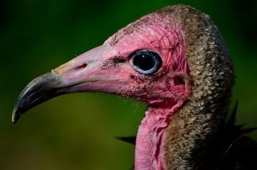 primo piano avvoltoio