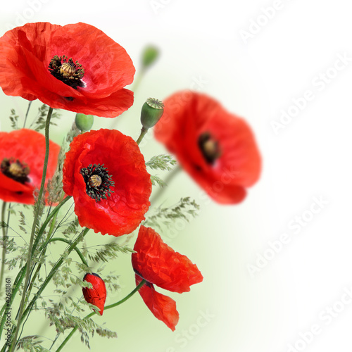 Foto op Canvas Poppy Poppies flowers border