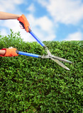 Hands with garden shears cutting a hedge in the garden