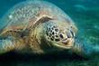 Huge sea turtle eat seaweed