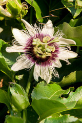 Passionfruit Flower on the Vine