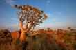 Leinwandbild Motiv Quiver tree landscape, Namibia