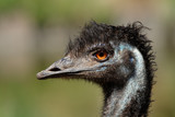 Portrait of an Emu (Dromaius novaehollandiae)