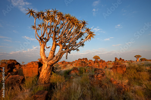 Leinwanddruck Bild Quiver tree landscape, Namibia