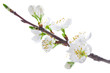 blossoming cherry tree isolated on white background