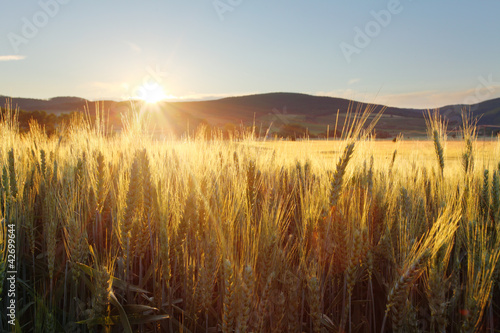 Foto op Plexiglas Cultuur Sunset over wheat field