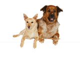 Alert dog companions lying side by side poster